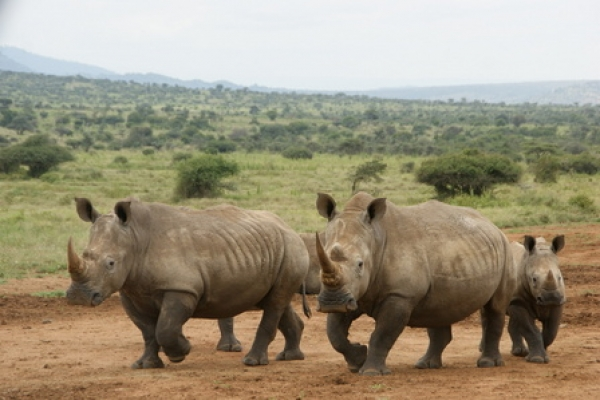 nearly-500-rhinos-poached-in-sa-this-year