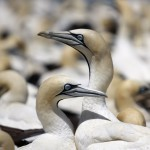 bird-island-celebrates-centenary-of-gannet-population