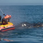 rescuers-free-entangled-humpback-whale