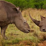second-madikwe-rhino-killed