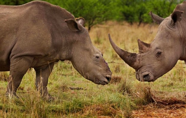 second-madikwe-rhino-killed