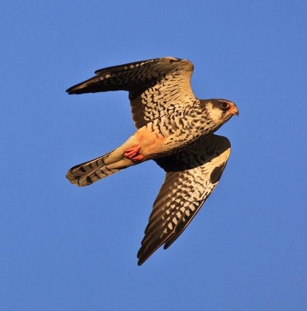 joy-as-migratory-falcon-arrives-in-kwazulu-natal