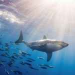 great-white-shark-granted-new-protection-in-california