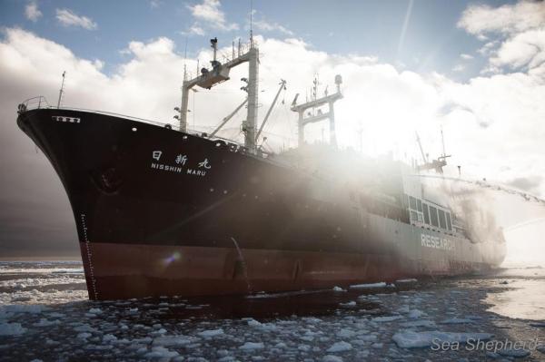 japan-halts-whale-hunt-after-sea-shepherd-clashes
