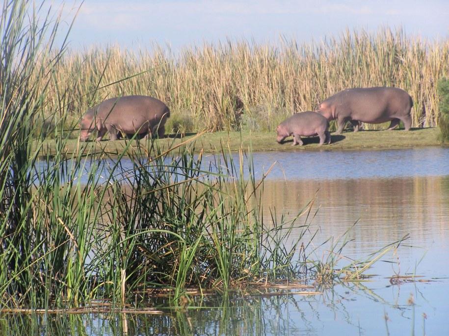 hippo rondevlei2