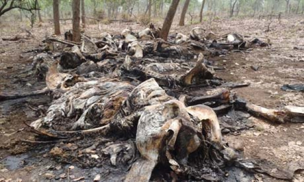 86-elephants-killed-in-chad-poaching-massacre