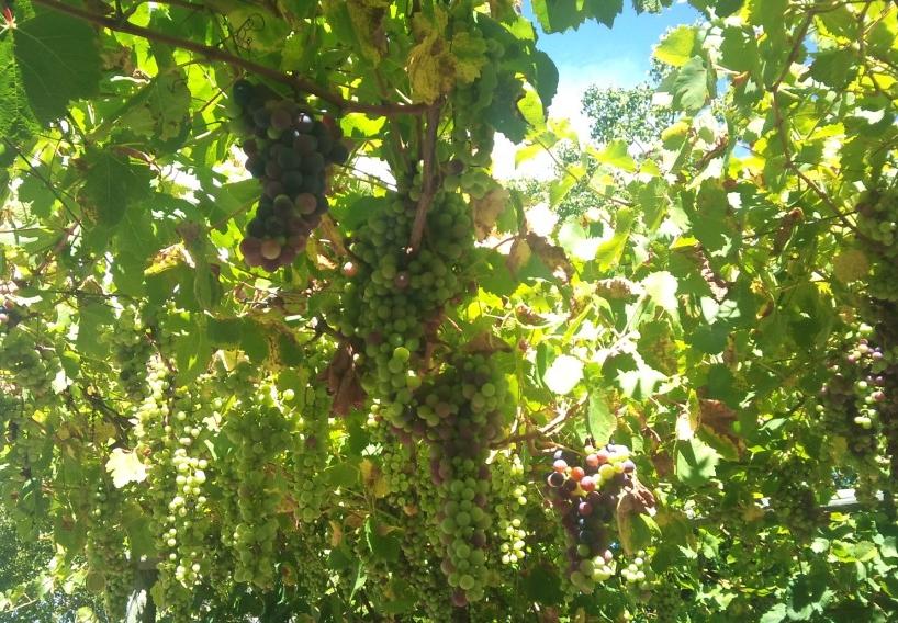 organic column - grapes
