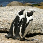 tracking-african-penguins-breeding-patterns