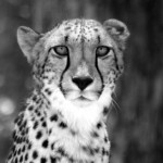 wild-cheetahs-return-to-the-free-state