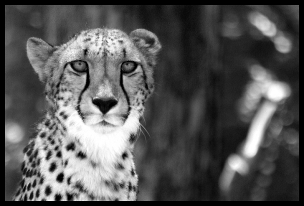wild-cheetahs-return-to-the-free-state