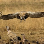 dismay-at-devastating-mass-poisoning-of-vultures