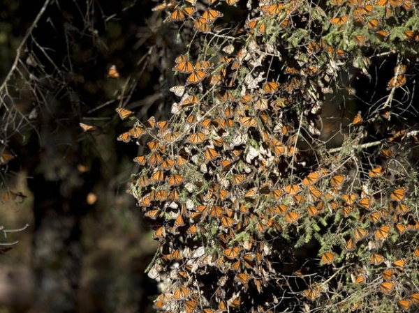 climate-change-may-doom-annual-butterfly-migration