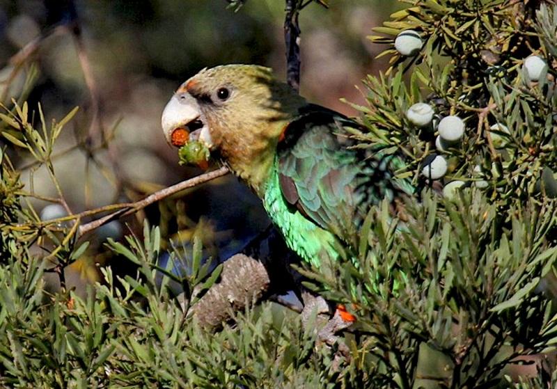Cape Parrots2