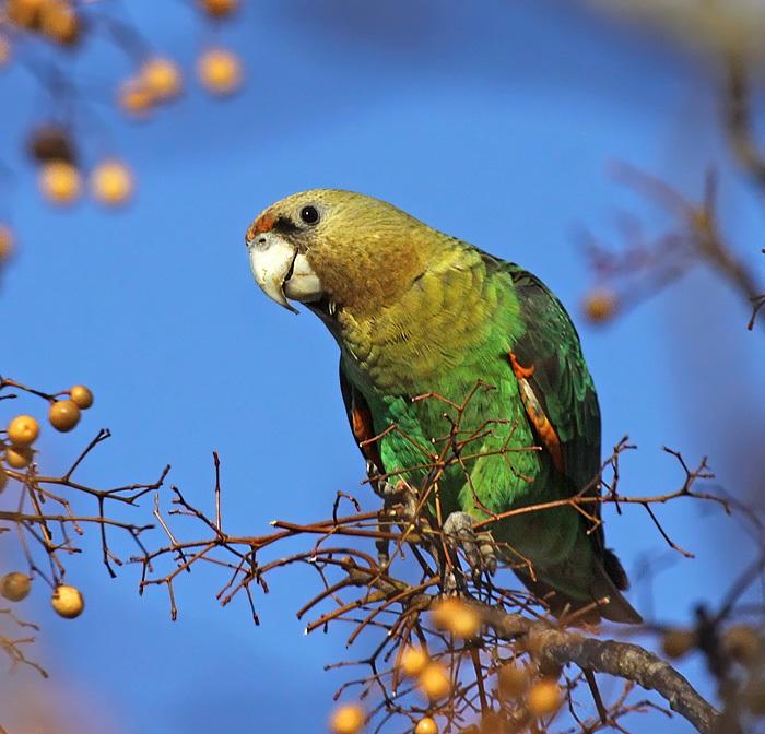 Cape Parrots3
