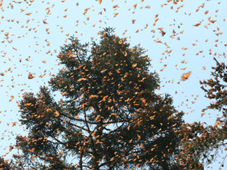 Monarch butterflies3