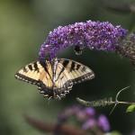 Monarch butterfly population is dwindling