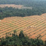 U.S. Palm Oil Plantation Endangers Chimps in Cameroon
