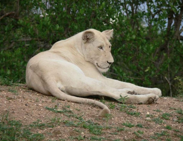 calling-all-white-lion-protectors