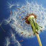 wild-about-weeds-part-3-dandelion