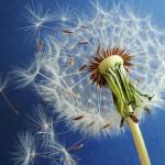 wild-about-weeds-part-3-dandelion