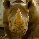 Poachers kill rhino in brazen attack