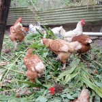 herbs-for-healthy-chickens
