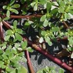 wild-about-weeds-part-4-purslane