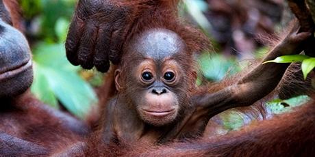 Orangutan baby endangered