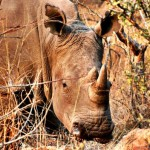 Moving rhinos to Botswana to combat poaching