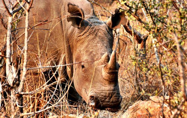 moving rhinos to Botswana