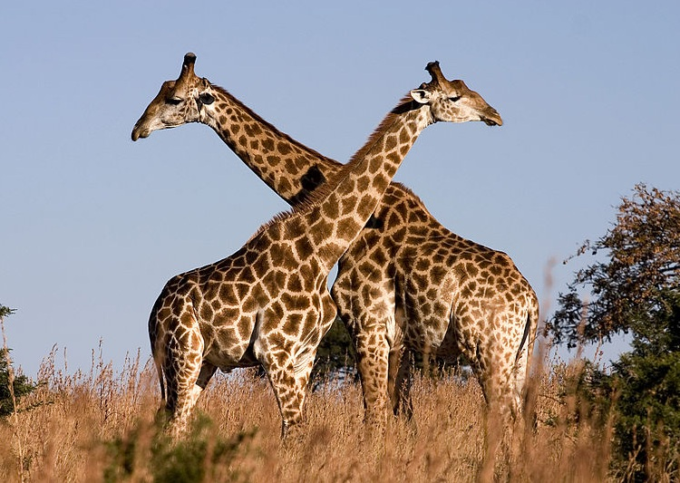 Giraffe_Ithala_KZN_South_Africa_Luca_Galuzzi