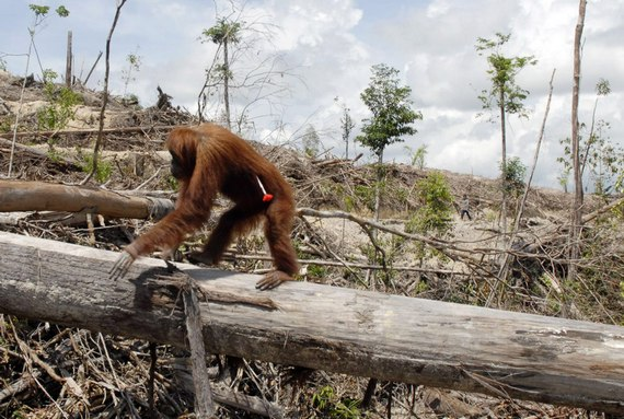 orangutan-deforestation-palm-oil-indonesia