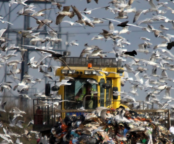 seagulls rubbish dump beddington