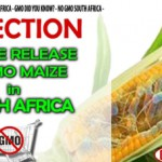 stop GM maize