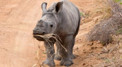 Hluhluwe-iMfolozi park rhino threat mining