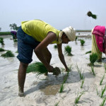 TOPSHOTS Indian farmers sow a paddy  in