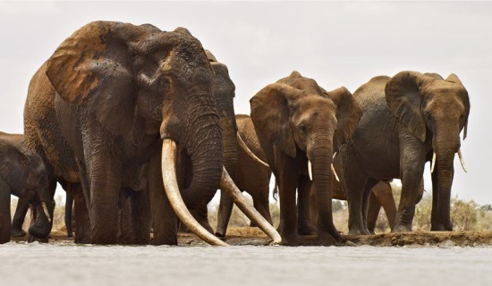 Kenya's biggest elephant killed by poachers-s