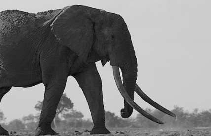 Kenya's biggest elephant killed by poachers2