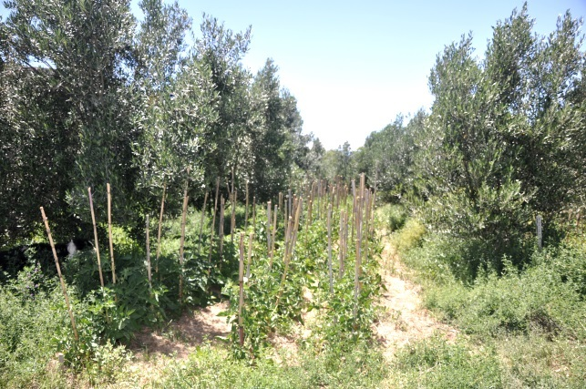 Olives and tomatoes intercropping