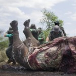 500 rhino killed by poachers in SA 2014