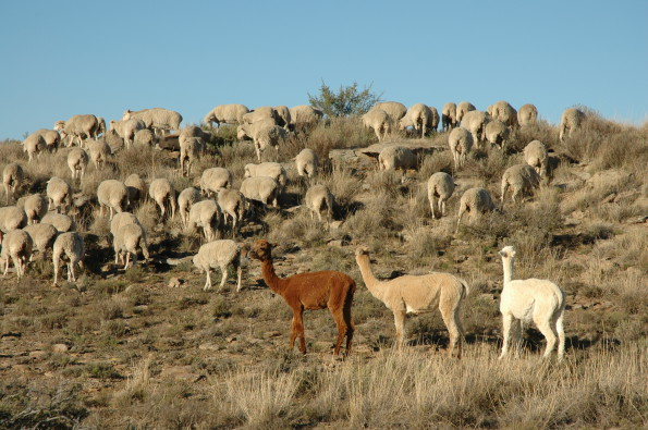 Alpaca-and-sheep-Julia-Kennaway