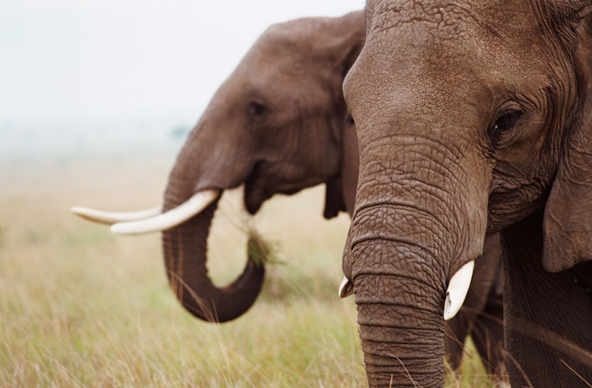 elephants wildlife ivory protect poachers