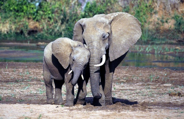 elephants wildlife ivory protect poachers2