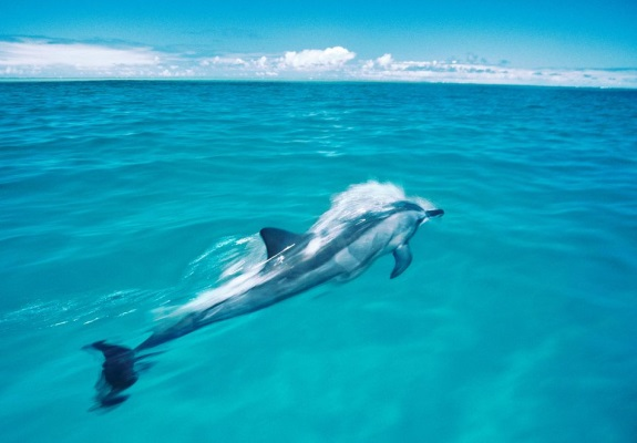 This spinner dolphin swims in the Midway Atoll National Wildlife Refuge, one of the U.S.'s nearly 1,800 marine protected areas. Image: Frans Lanting, Corbis