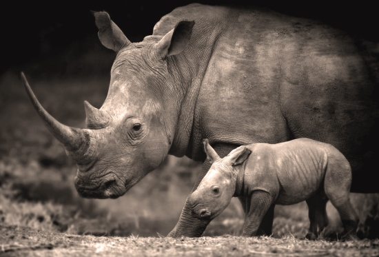 Peace Parks' Rhino Protection -3