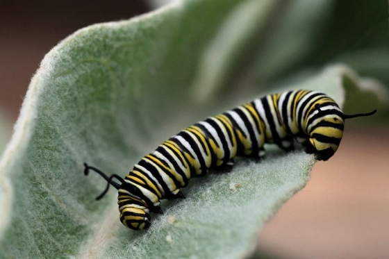 monarch-butterfly-roundup-pesticide