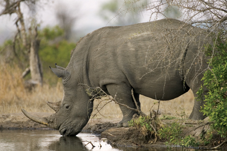 rhino poaching debate