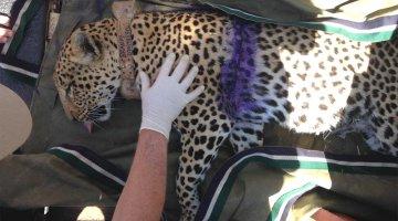 Brandy leopard released