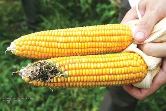Farmers in the Philippines Deceived by GM Corn