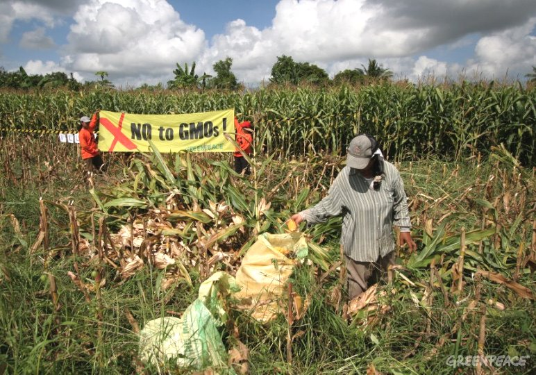 Farmers in the Philippines Deceived by GM Corn4